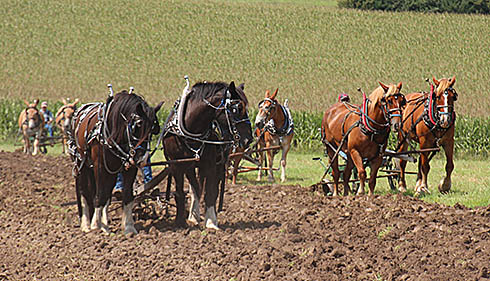 Several horse and mule teams were plowing at the same time on Sunday.